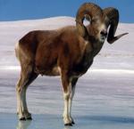 Якутский снежный баран