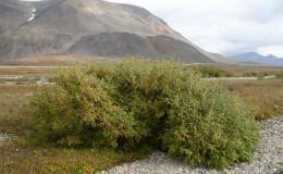 Alaska Willow