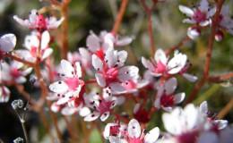 Naked-stem Saxifrage