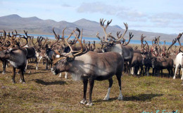 Reindeers near Yanrakynnot