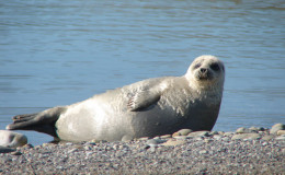 Sported seal is often on the shore