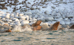 Sea lions reach their northern natural habitat on Chukchi Peninsula