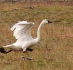 Tundra Snow Goose