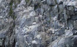 Bird rookery. Arakamchechen island