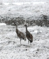 Canadian cranes have flown, but there is snow