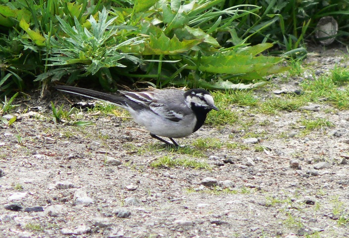 White wagtail. Picture by A. Borovik. Novoe Chaplino area.